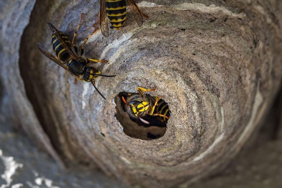 Как избавиться от ос в доме и на даче, поиск и уничтожение гнезда