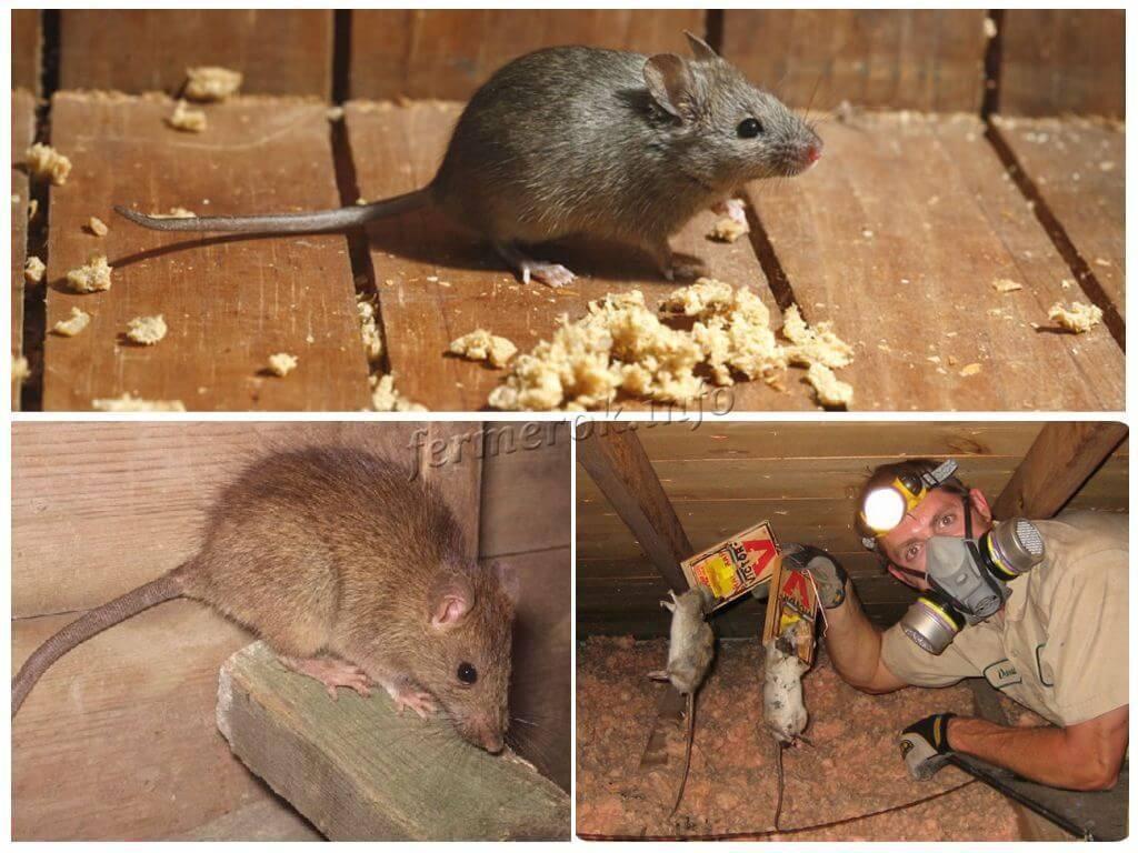Как избавиться от крыс в курятнике, если они воруют яйца - бороться нужно аккуратно и правильно