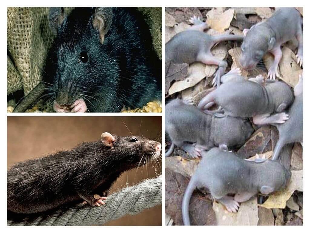 Топ-15 интересных фактов о крысах