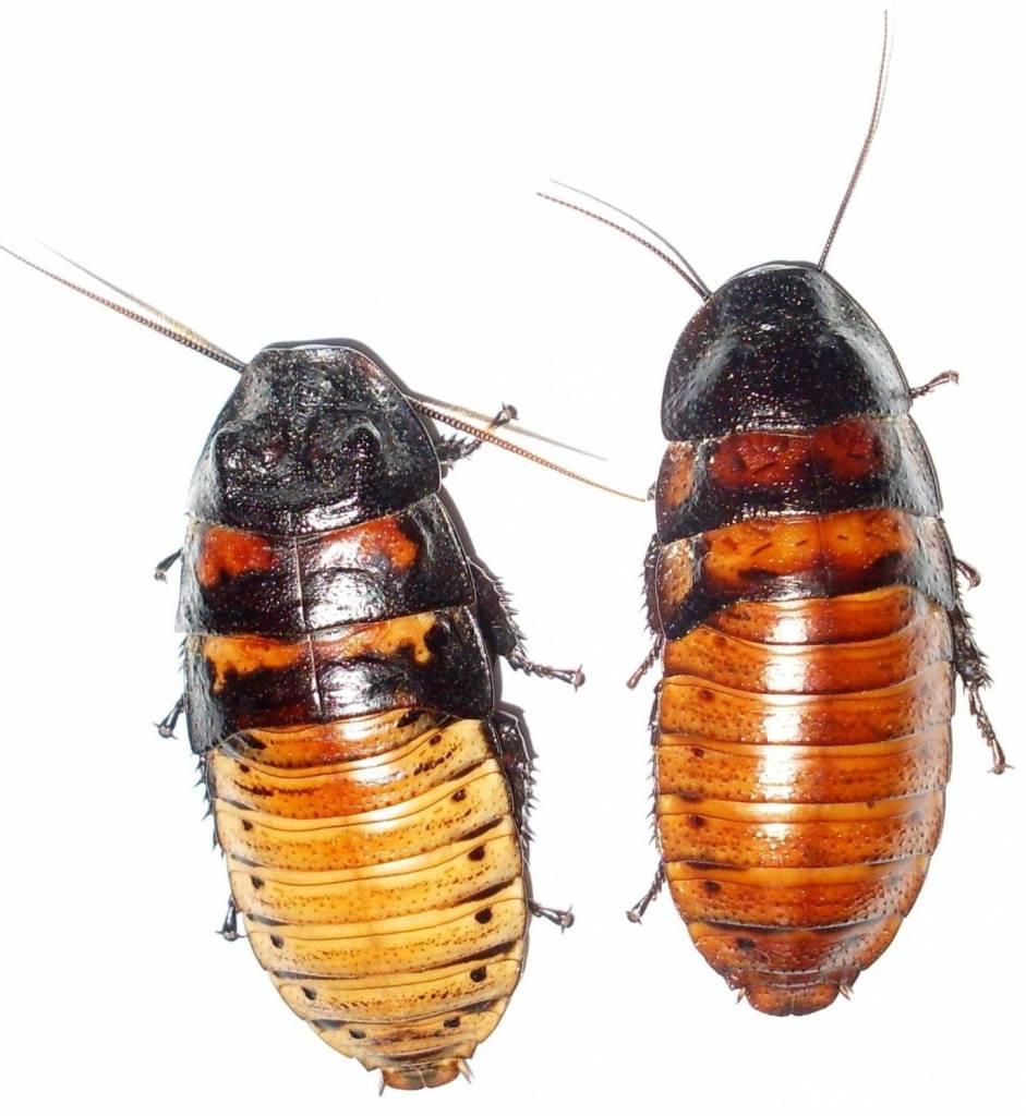 Туркменский таракан - когда может принести пользу или вред