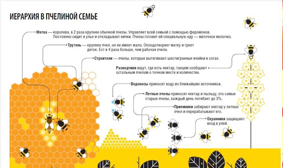 Как пчелы делают мед: интересные факты, видео для детей