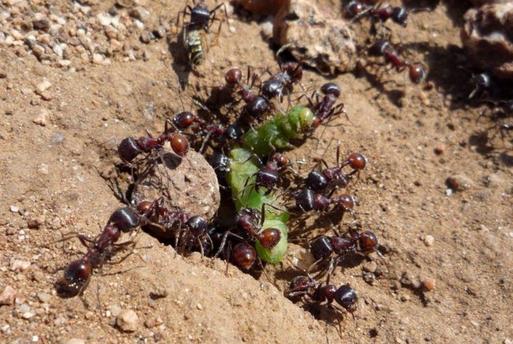 Чем муравьи опасны для улья и как избавиться от них на пасеке