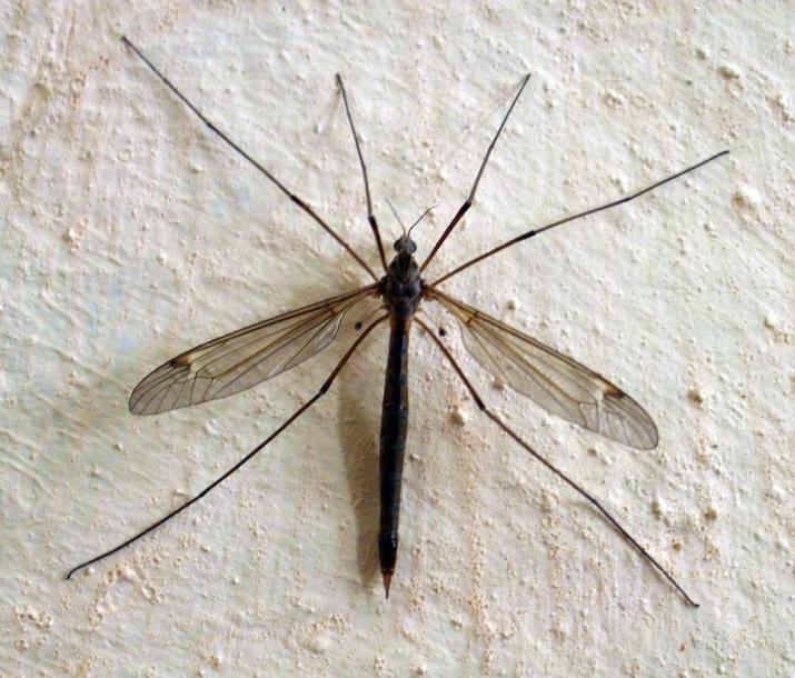Комар долгоножка или карамора: опасно ли насекомое для человека