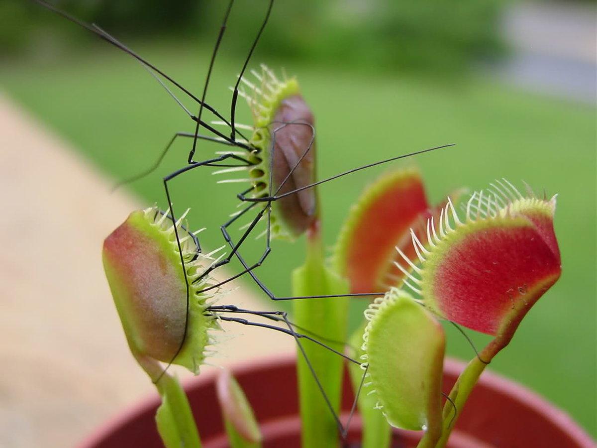 Цветы и растения, которые едят мух