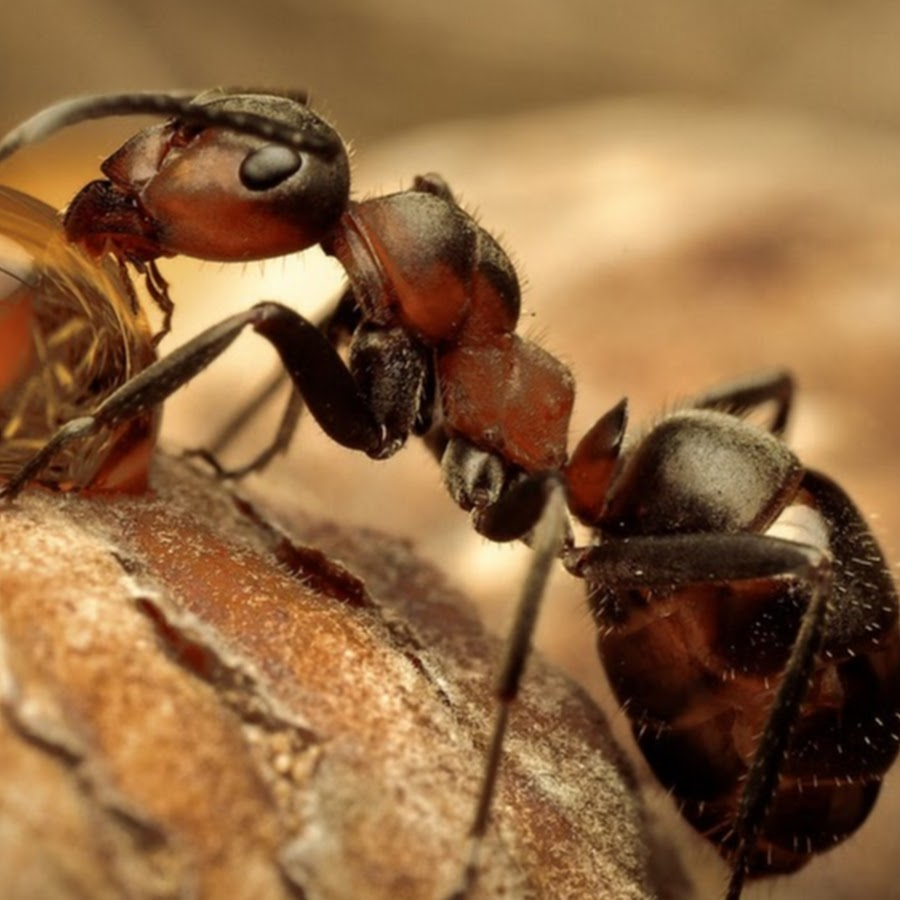 Виды муравьев: отряды, рода, типы, разновидности в россии и фото русский фермер