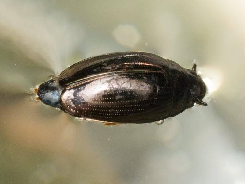 Плавунец жук насекомое. описание, особенности, виды, образ жизни и среда обитания плавунца   живность.ру