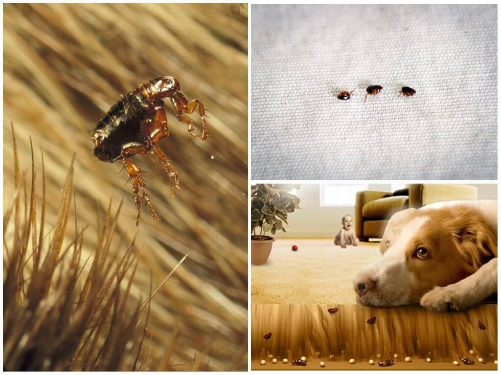 Постельные блохи (бельевые) как избавиться: в диване, кровате, вещах