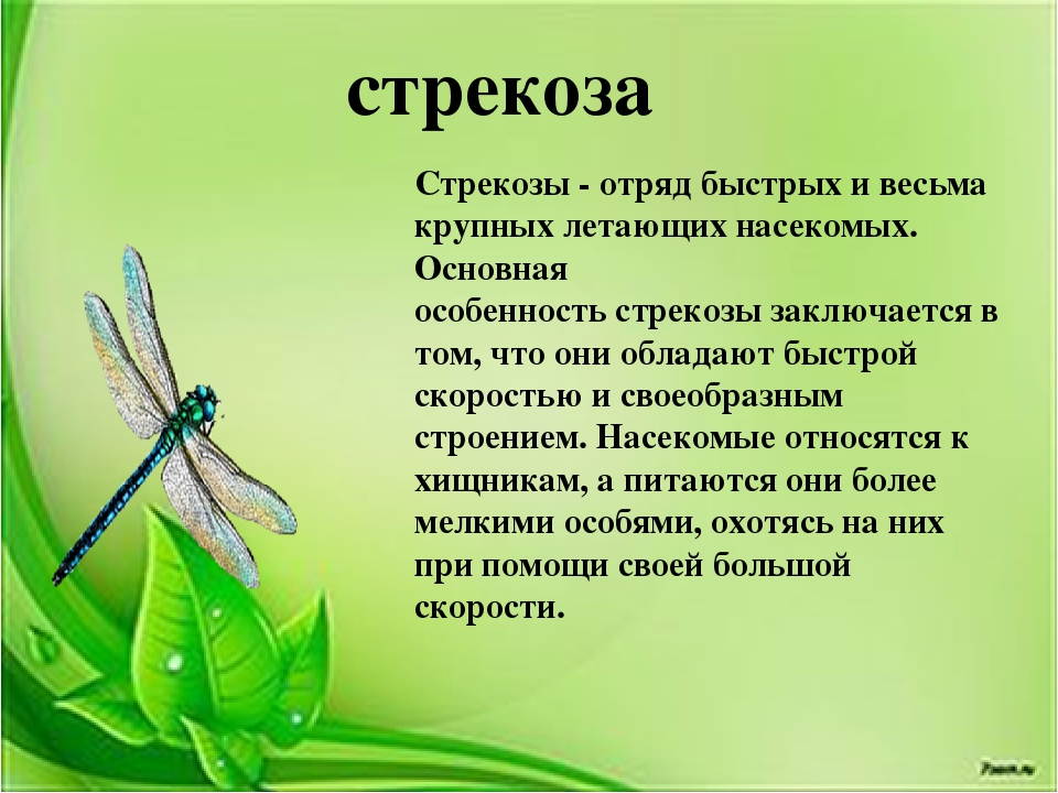Стрекоза решетчатая, или стрекоза голубая