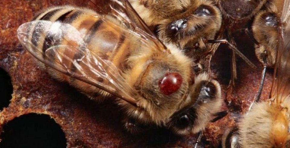 Какими методами лечить варроатоз у пчел весной?