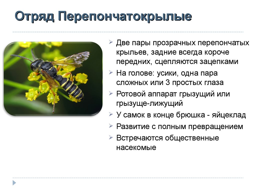 Сколько живут осы?