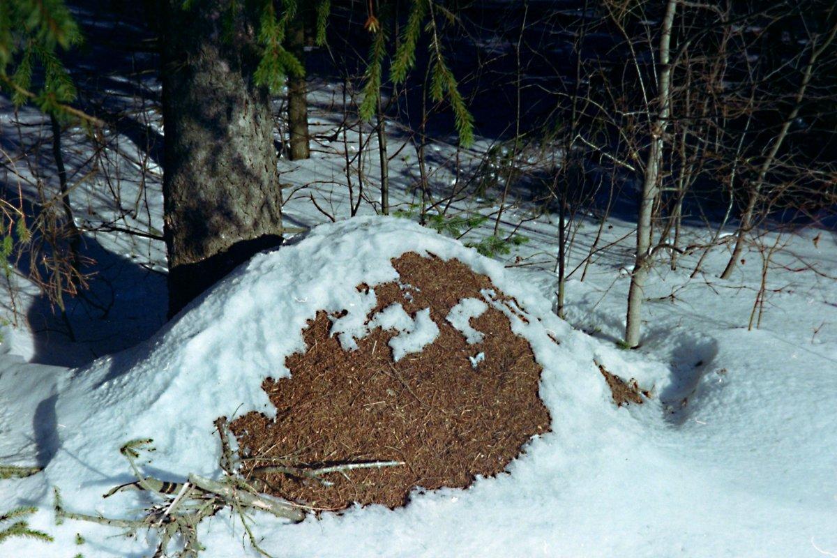 Как готовятся к зиме муравьи: что делают и где зимуют?