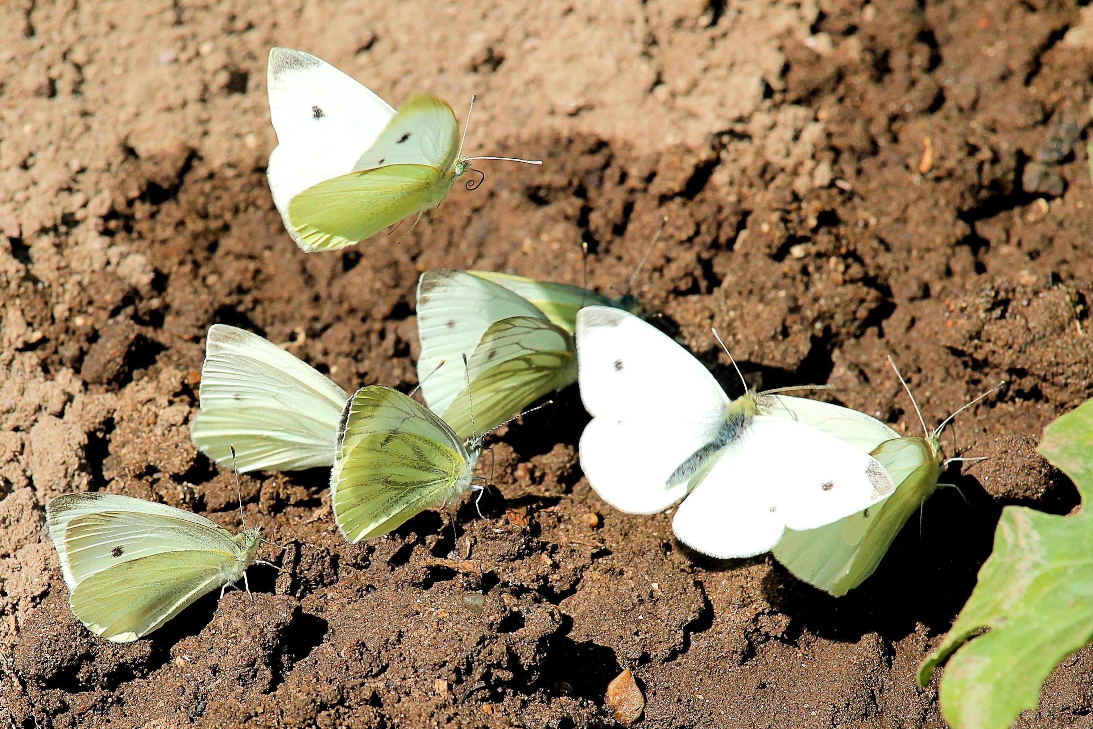 Как бороться с капустницей народными и химическими средствами