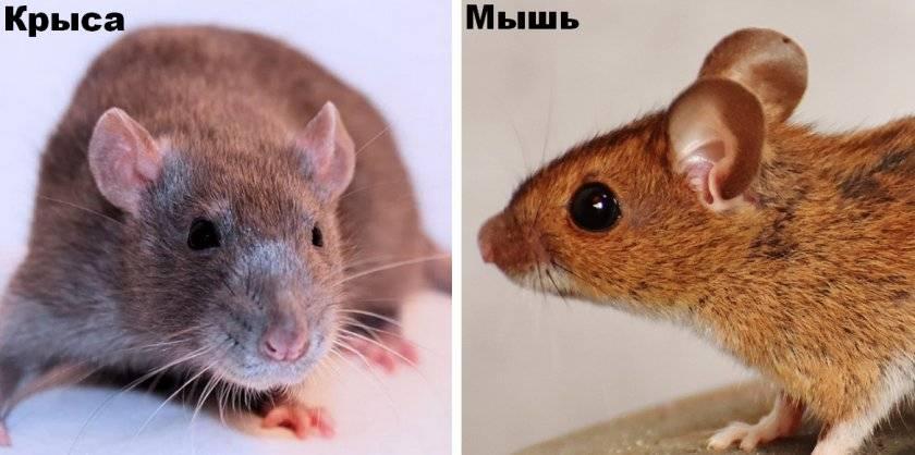 Крыса и мышь - фото и описание отличий