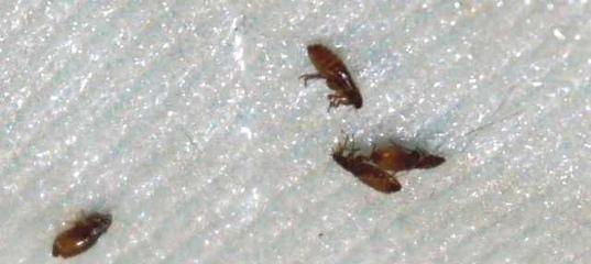 Земляные блохи: размножение, места обитания, опасность укусов