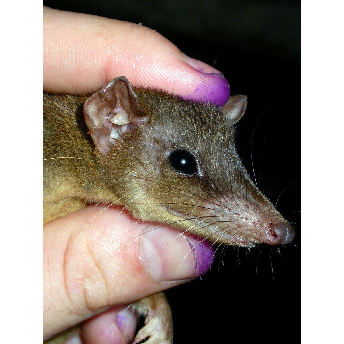 Гамбийская крыса: описание и содержание в домашних условиях