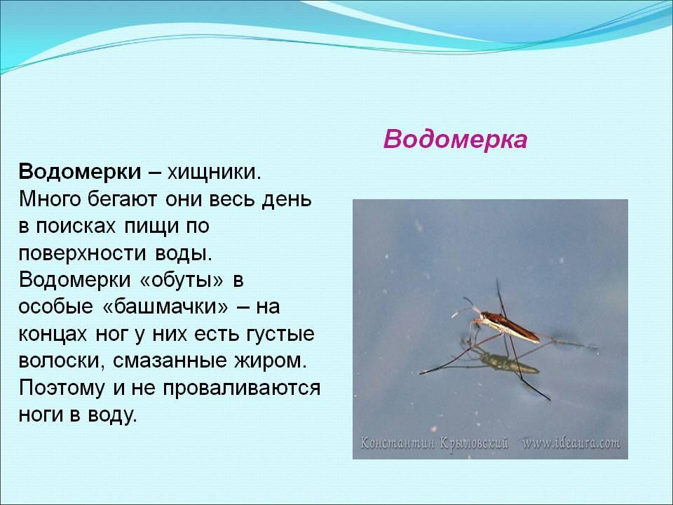 ᐉ водяные клопы гладыш и водомерка: как выглядят, фото укусов, опасность для человека, видео - zoovet24.ru