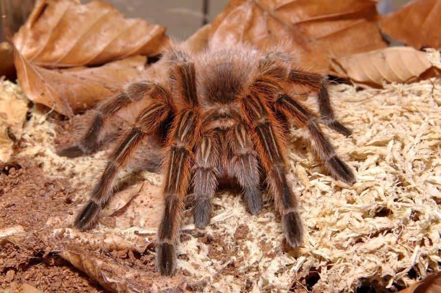 Как выглядит тарантул, где живет, чем питается: содержание паука в домашних условиях