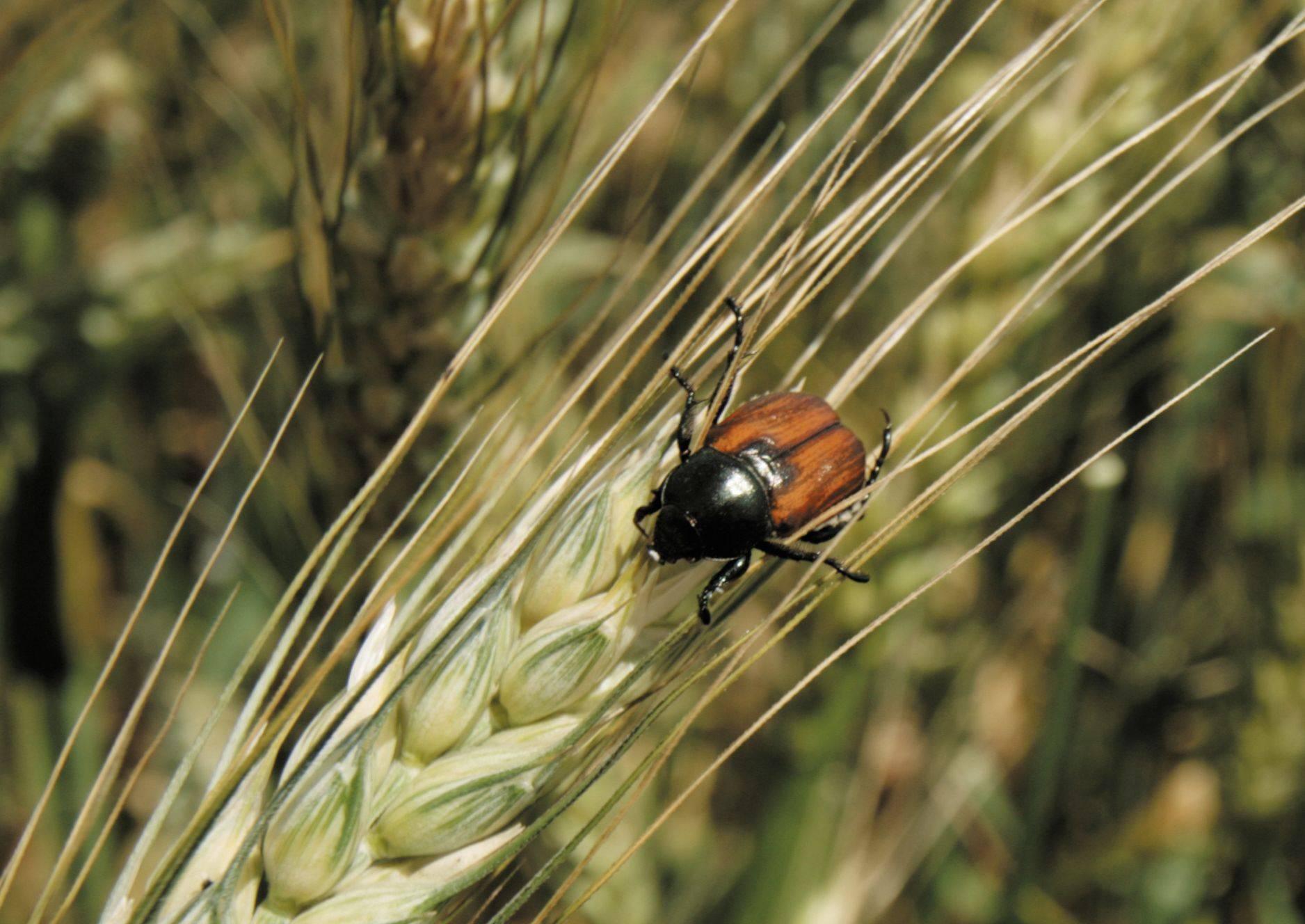 Хлебный жук кузька, жук вредитель хлебных злаков — пропозиция