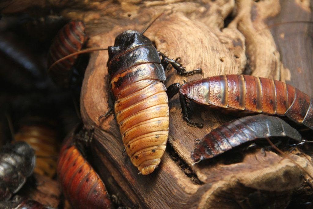 Мадагаскарский (африканский) таракан: чем кормить, как разводить
