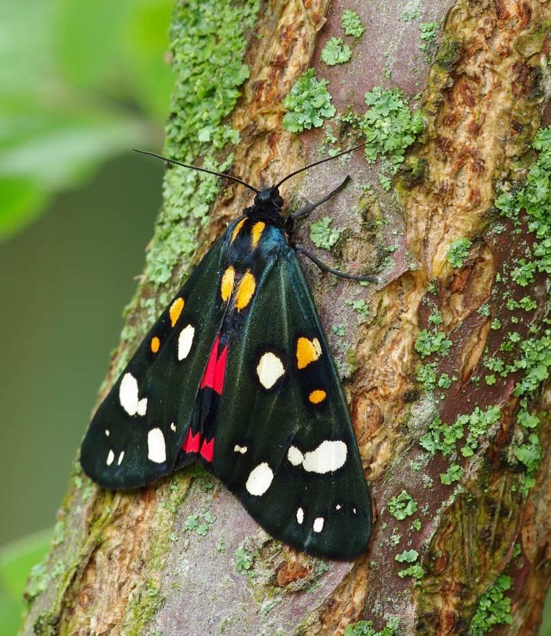 Бабочка медведица госпожа – летнее чудо у ручья. бабочка медведица: особенности, распространение, фото