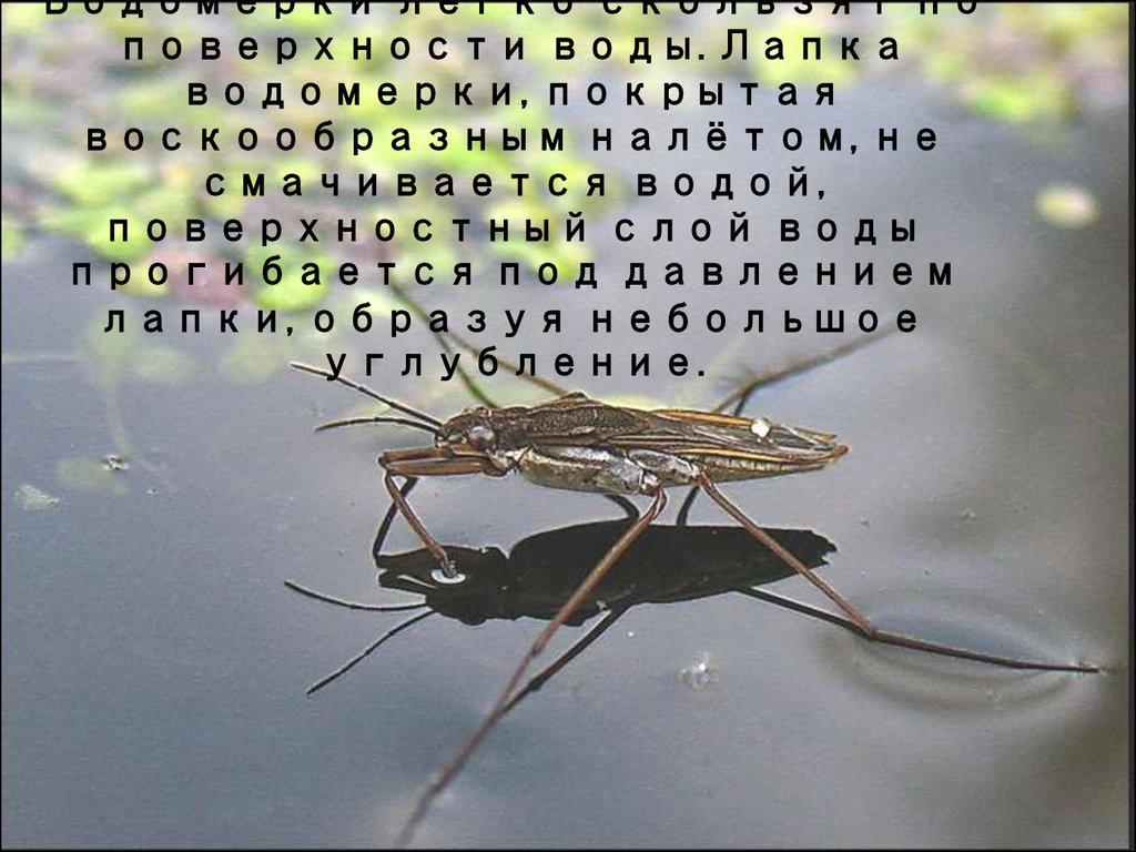 Гигантский водяной клоп: водомерка, гладыш, их особенности и фото русский фермер
