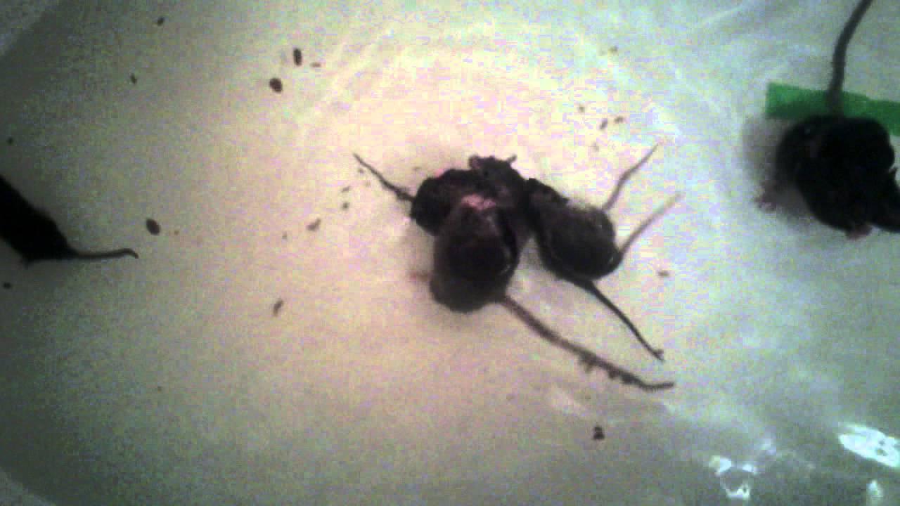 Домовые мыши: описание и фото. кусается ли домовая мышь? как избавиться от домовых мышей