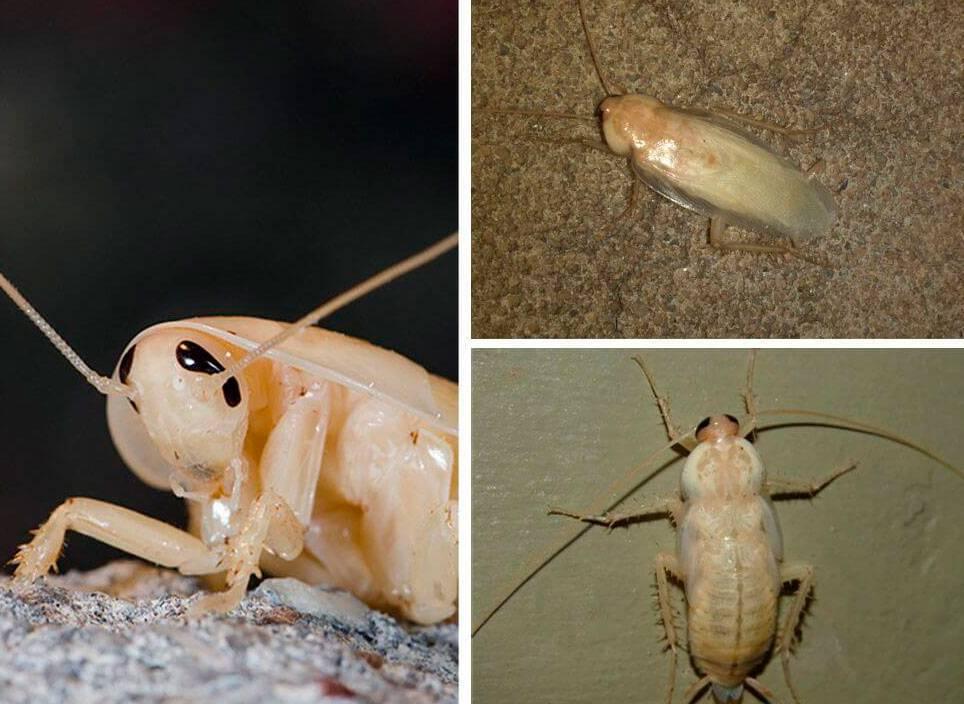 Белый таракан в квартире - что это и почему?