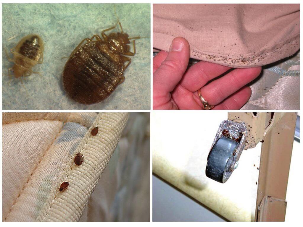 Размножение клопов в квартире: жизненный цикл, как избавиться
