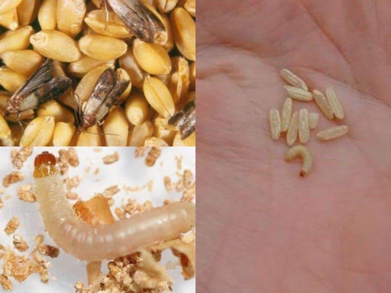 Домашняя моль: виды вредителя и методы борьбы с личинками паразита