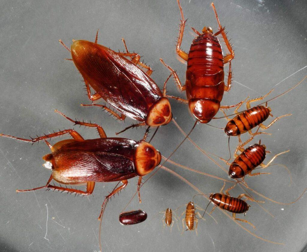 Чем опасны тараканы для человека: вред и болезни