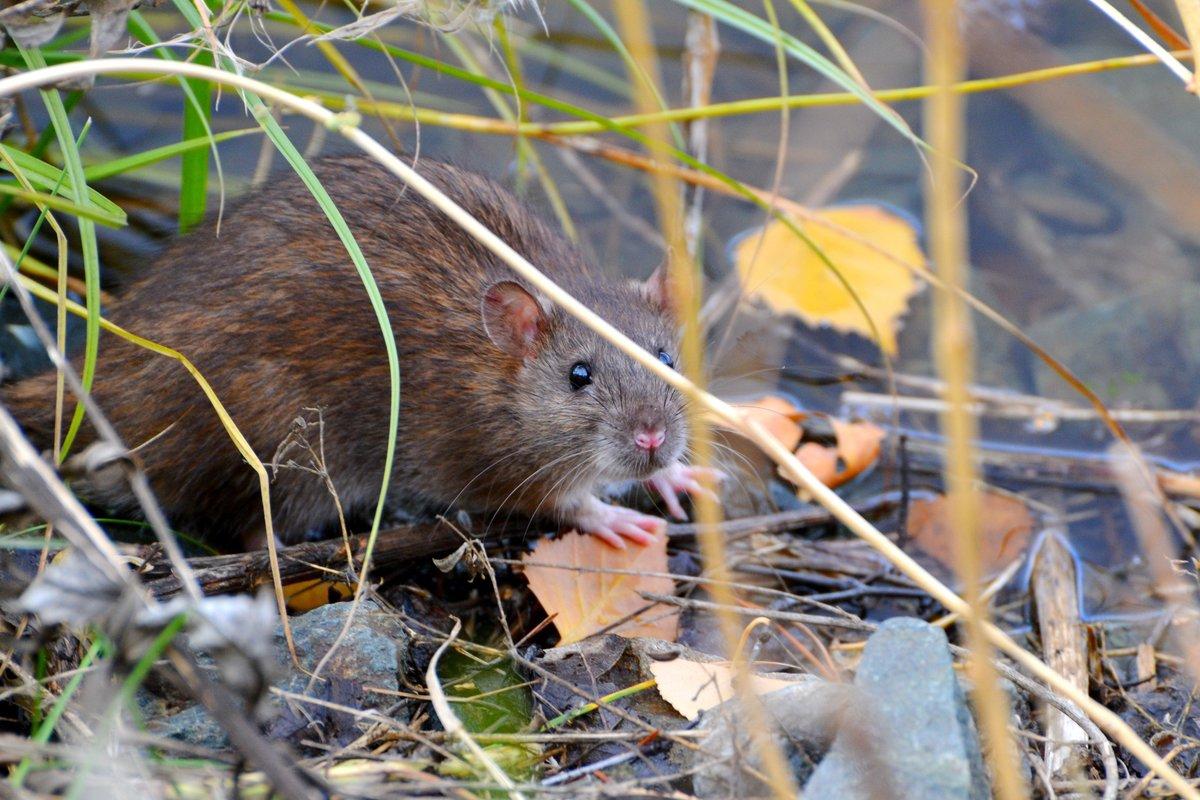 Земляная крыса: фото и описание жизни водяного грызуна русский фермер