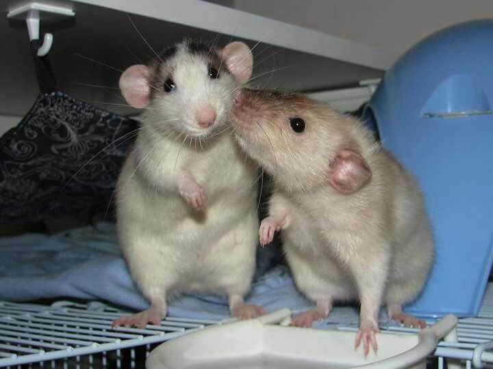 Продолжительность жизни домашней крысы - сколько лет, как продлить жизнь