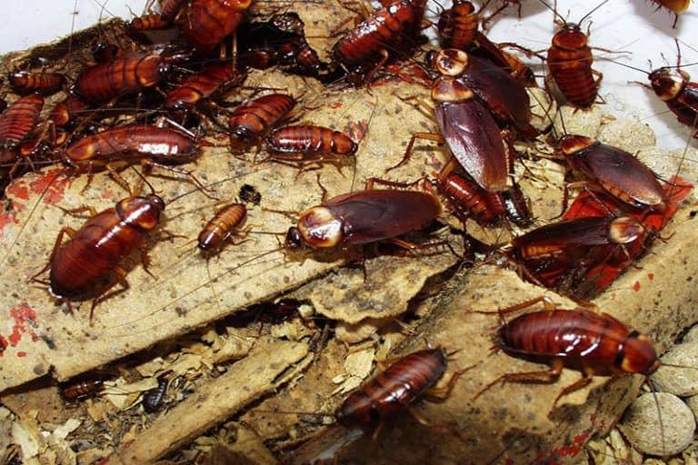 Скорость размножения тараканов в домашних условиях
