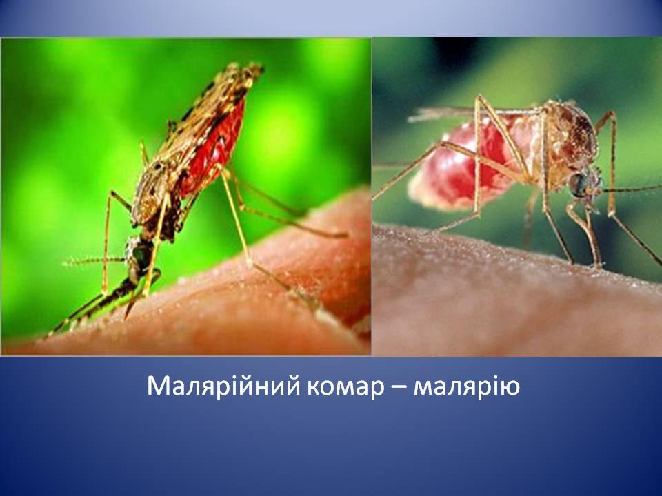 Малярийный комар: фото, чем опасен, что делать при укусе