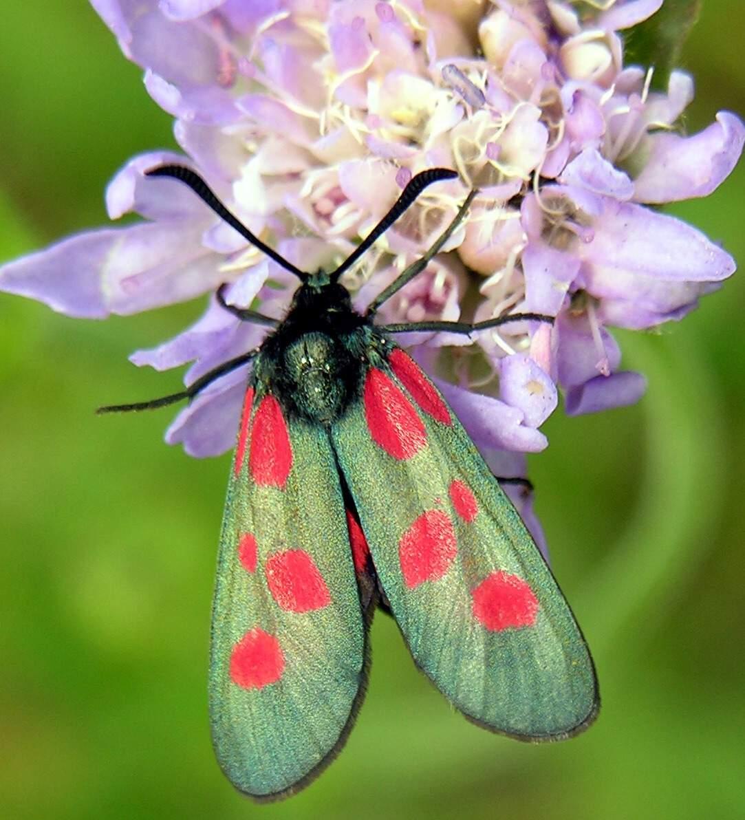 Кто такая пестрянка? Виды бабочек, наносимый ими вред и способы борьбы