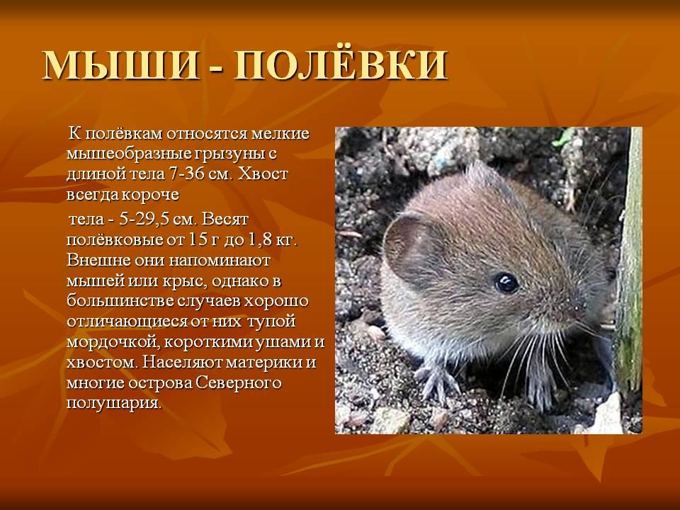Полевая мышь или мышь с полоской на спине, места обитания и повадки 2021