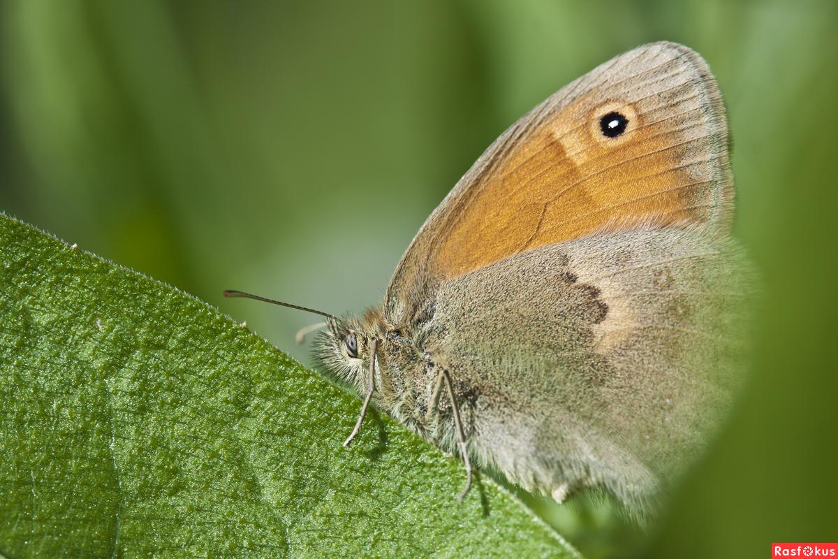 Бабочка сенница памфил - описание и фотографии