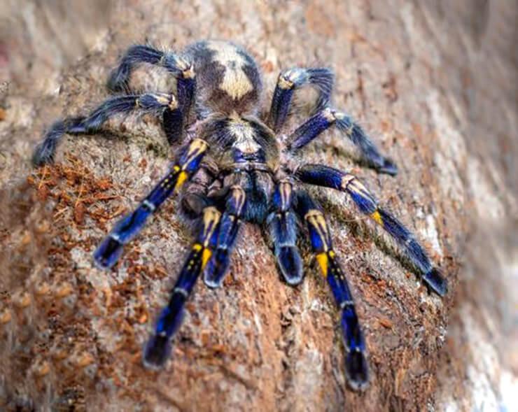 Голубой, фиолетовый, древесный, зелёный паук птицеед