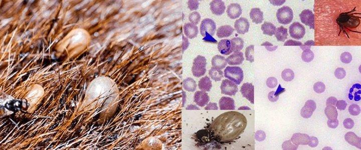 Симптомы, пути заражения и методы лечения боррелиоза (болезни лайма) у собак