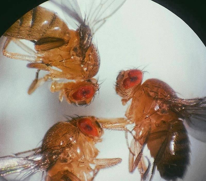 Водяная мошка. сколько живут дрозофилы: жизненный цикл мушек