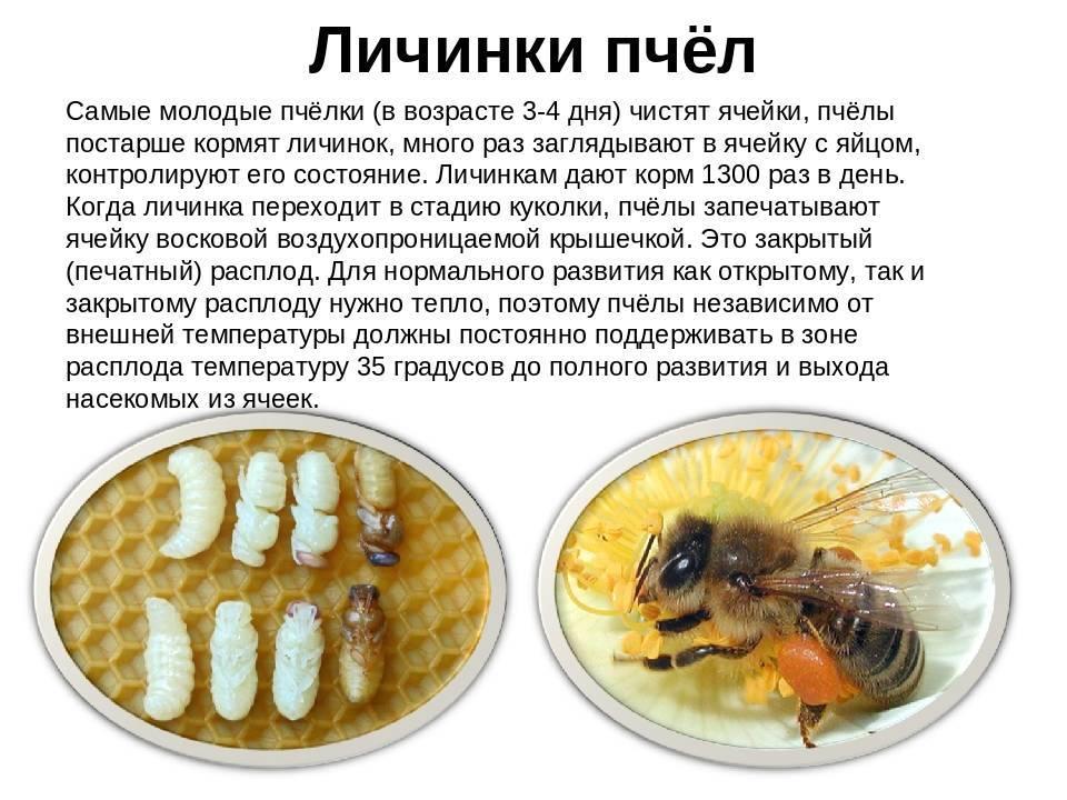Развитие пчелы: этапы, полезные свойства расплода, необходимая температура для развития