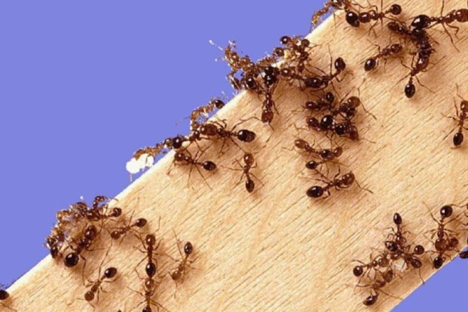 Фараоновы муравьи - фото, описание и как избавиться