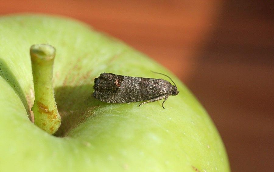 Яблоневая плодожорка - средства и методы борьбы