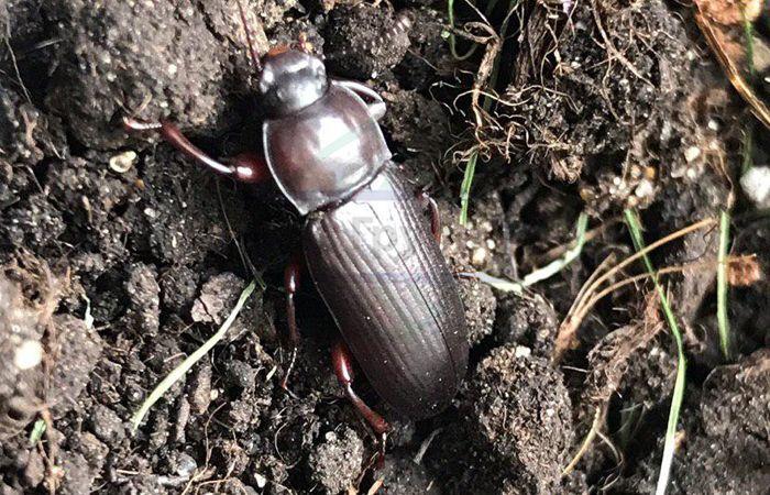 Мучной хрущак: большой и малый жук, как избавиться в квартире