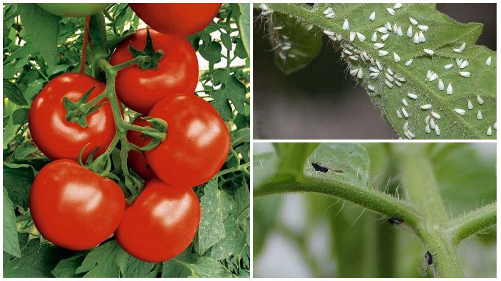 Как бороться с черными мошками на помидорах