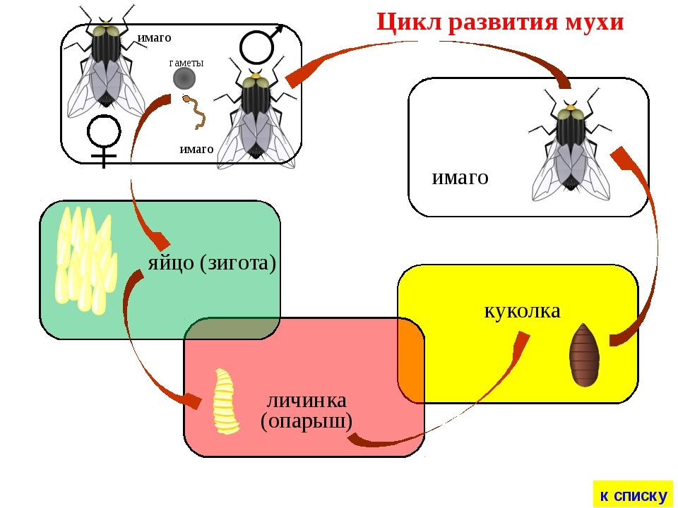 Сколько живут мухи. жизненный цикл мух