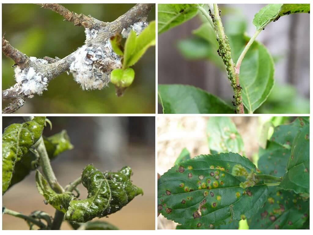 Как и чем обрабатывать грушу весной от вредителей и болезней