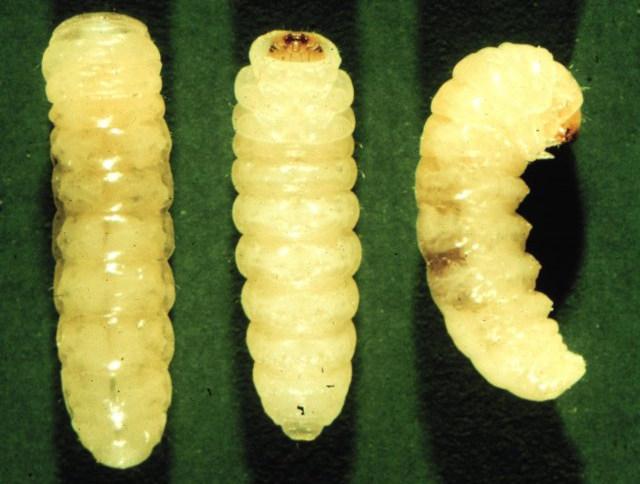 Фото луковой мухи, как выглядит и чем живет?