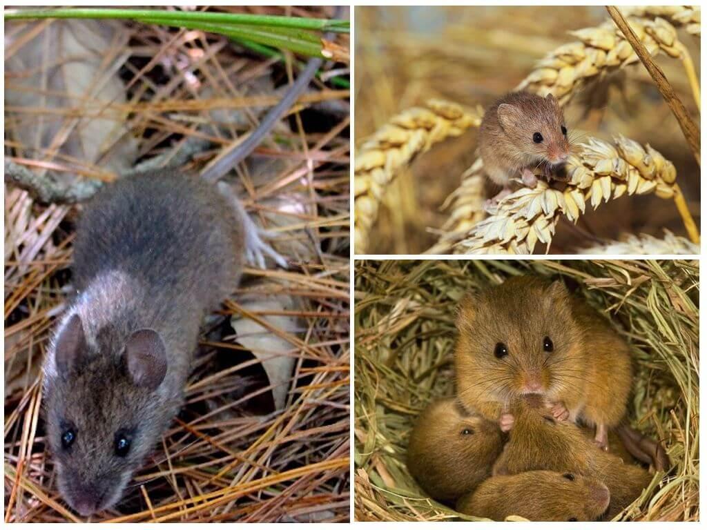 Мыши полевки с полосой на спине: классификация, описание, образ жизни грызунов