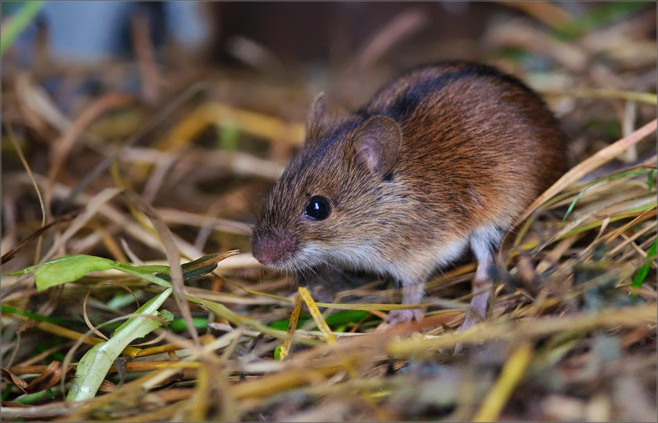 Чем же питается полевка в степи, лесу, тайге и на лугу? является ли полевая мышь всеядной?